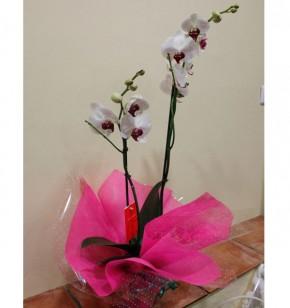 Orquídea blanca